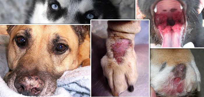 Autoimmune Diseases in Pets: Causes, Symptoms and Treatment