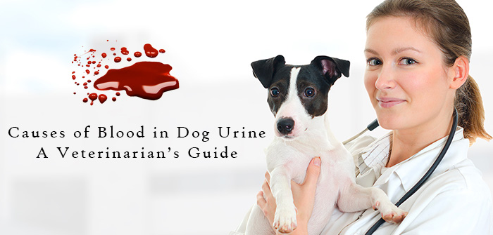 Causes of Blood in Dog Urine – A Veterinarian's Guide