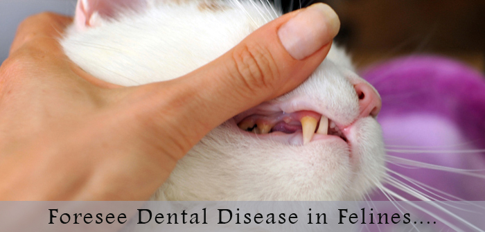 Surprise!!! Surprise!!! Now It is Possible To Foresee Dental Disease in Felines…..