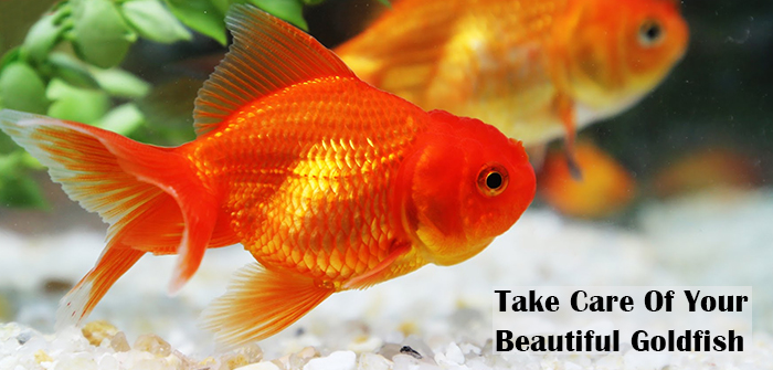 The Best Way To Take Care Of Goldfish