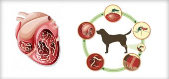 Prevent Heartworms in Dogs by Understanding Their Life Cycle